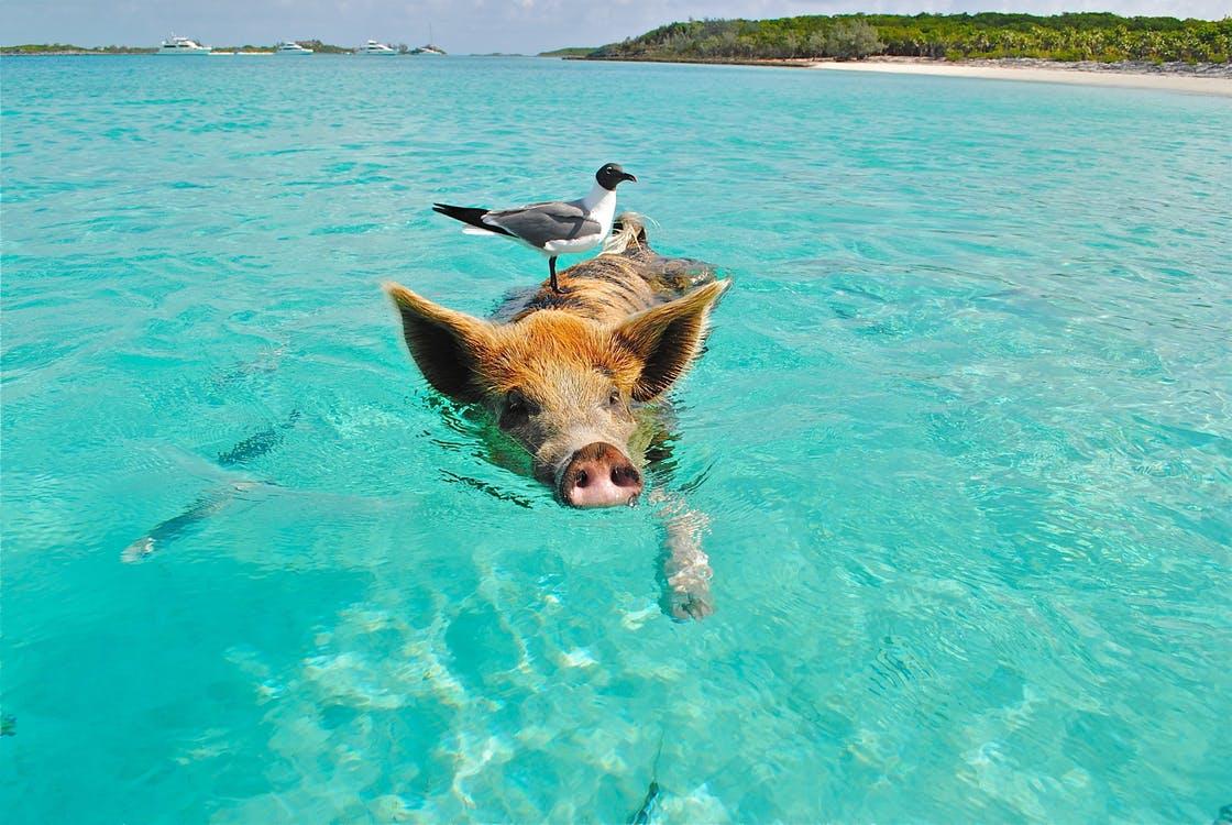 2017_0624192025_staniel-cay-swimming-pig-seagull-fish-66258.jpeg