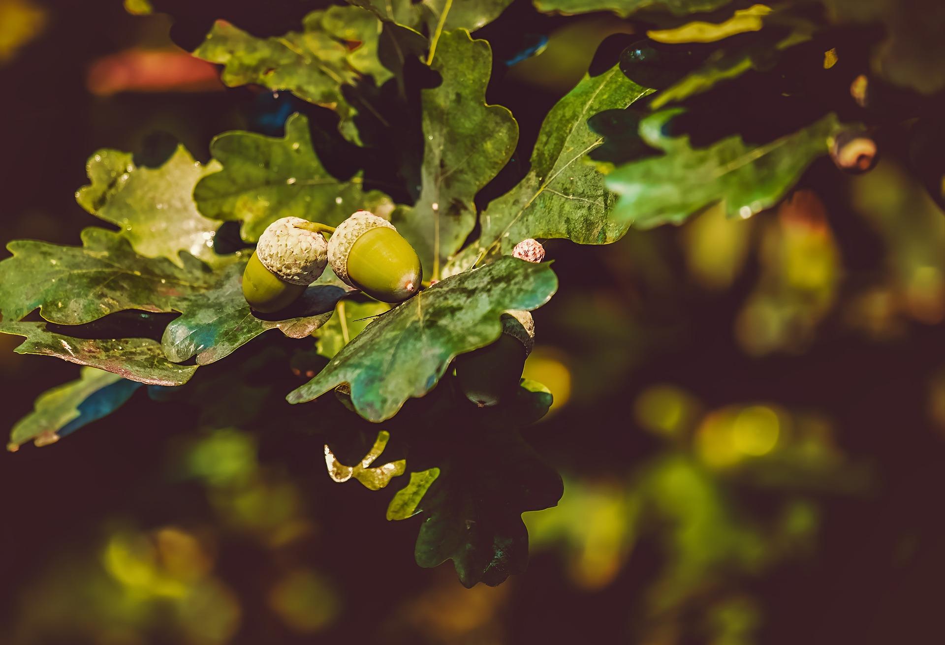 2019_1122203930_acorns-3535510_1920.jpg